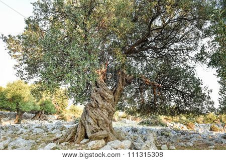 Big And Old Olive Tree