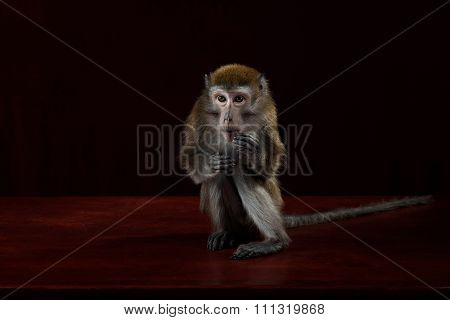 Red-faced Spider Monke in red background. the symbol of the new year
