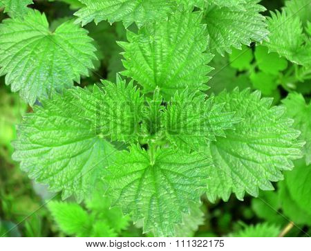 Lush Young Green Leaves Of Nettle - Stinging Herb With Leaves With Serrated Edges