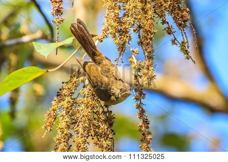 Beautiful Grey-eyed Bulbul (hypsipetes Propinquus)