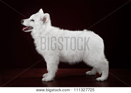 White swiss shepherd puppy