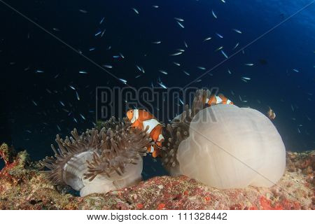 Clownfish Anemonefish Sea Anemone