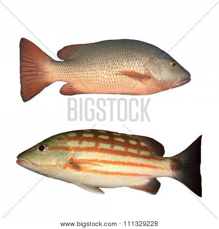 Snapper fish isolated cut out white background. Red and Checkered Snappers, Live underwater,