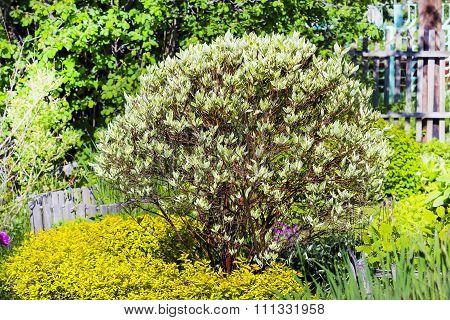 Ornamental shrubs - white Derain (Cornus alba)