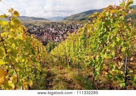 Riquewihr vineyards