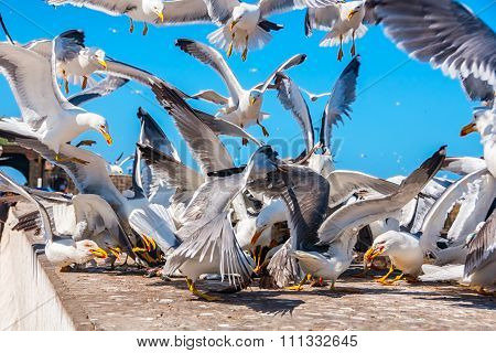 Seagulls fighting for the fish in Essaouira
