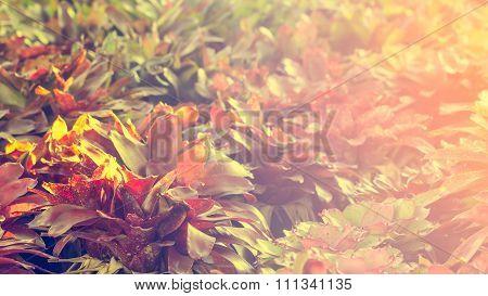 Selective Focus Of   Bromeliad  In The Garden,vintage Toning