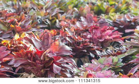Selective Focus Of   Bromeliad  In The Garden