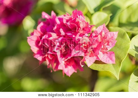 Selective Focus Of   Bougainvillea Flowers In The Morning