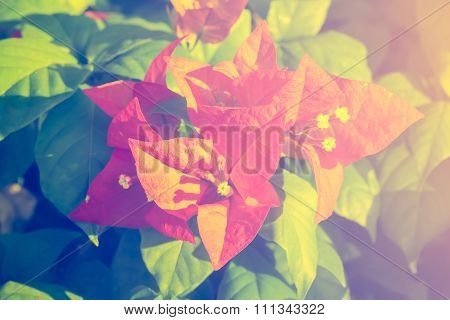 Selective Focus Of   Bougainvillea Flowers In The Morning,vintage Toning