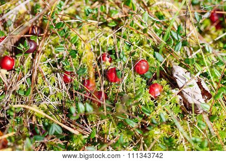 Cranberries Red Berries On Nature Background In Forest
