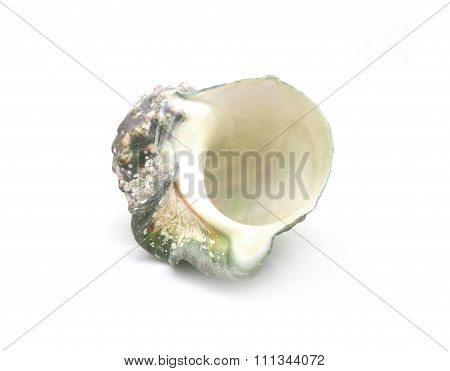 The shell of Luminous shellfish on white background