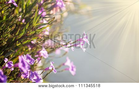 Selective Focus Of  Ruellias Flower In Garden With Sunlight In The Morning