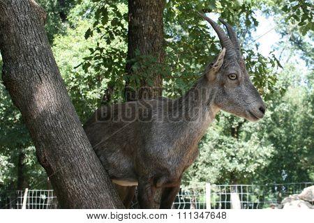 Goat Feeding In Argan Tree. Happy Goat In A Tree