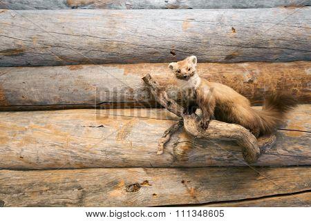 Hunting Trophy - Stuffed Marten On Wooden Wall