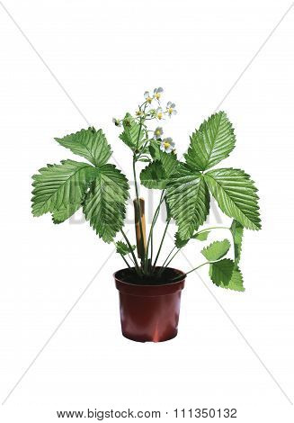 Wild Strawberry Bush In A Flowerpot Isolated