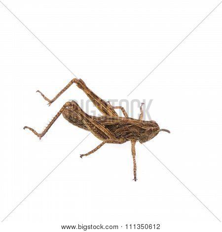 Brown Grasshopper On A White Background