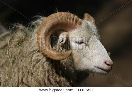 Sheep Skudde, Ram