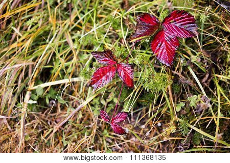 Red Leaves Growing In Tangled Grass