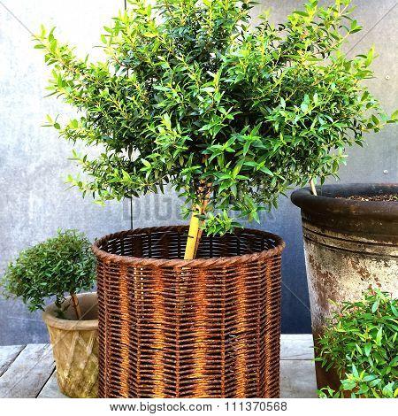 Myrtle Tree In A Rusty Basket