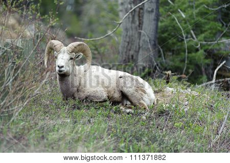 Bighorn Sheep In The Fields