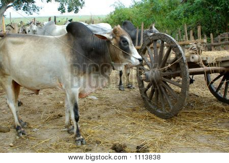 Bulls And Wooden Cart