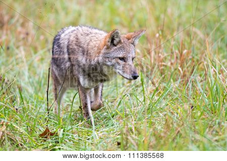 Coyote In A Meadow