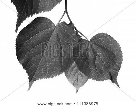 Black And White Linden-tree Leafs