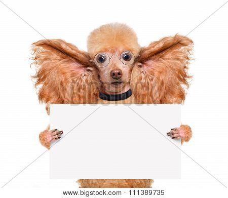 Dog listening with big ears. Sad.