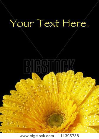 Vibrant Wet Yellow Gerbera