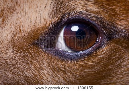 Close Up Dog Eye