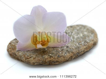 Orchid on flat stone