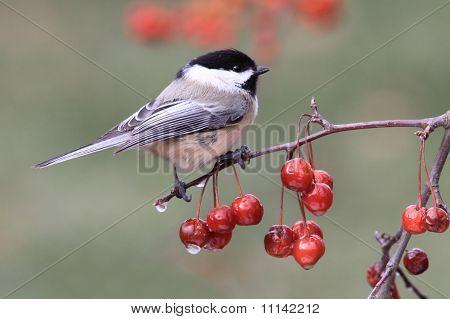 Sobre una rama de los pájaros chickadee
