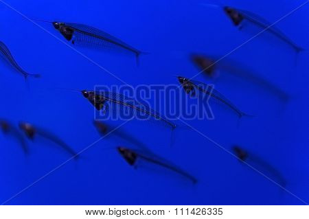 Transparent fish flock