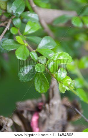 close up green fukien tea leaves