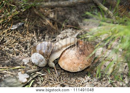 Snail Crawling On A Toadstool.