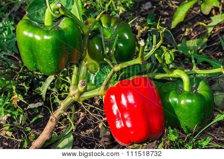Peppers Growing In The Garden