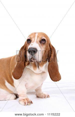 Basset Portrait
