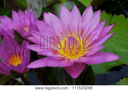 Pink lotus pollen yellow filaments solar ener