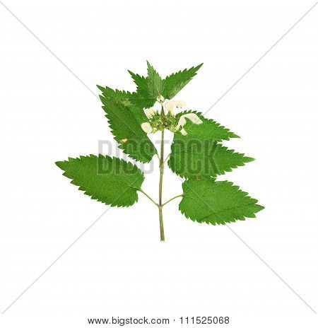 Pressed And Dried Stalk Of Dead-nettle  (lamium Album) With Flowers