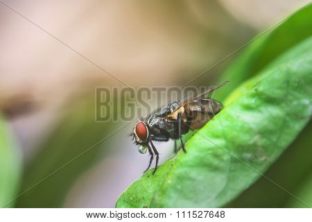 A Macro Shot Of Fly On Green Leaves . Live House Fly .insect Close-up