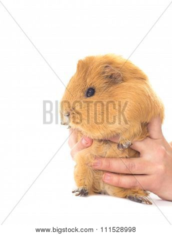 Funny Guinea Pig And Hands