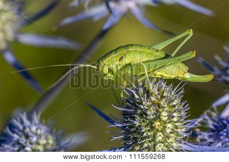 The green grasshopper