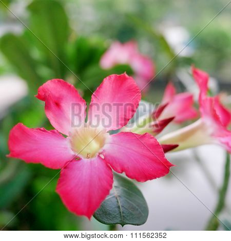 Beautiful pink nerium oleander flower
