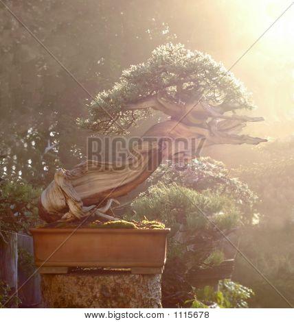 Juniper Bonsai In Morning Dew