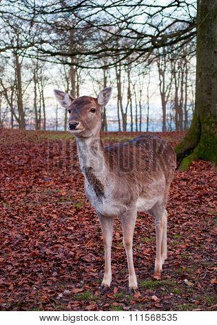 Whitetail Deer Buck Under A Tree