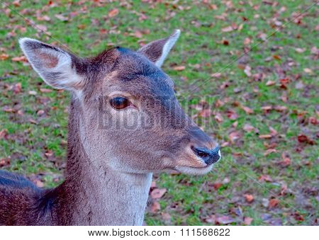 A Portrait Of A Young Deer