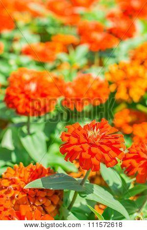 Zinnia Flower In The Garden.