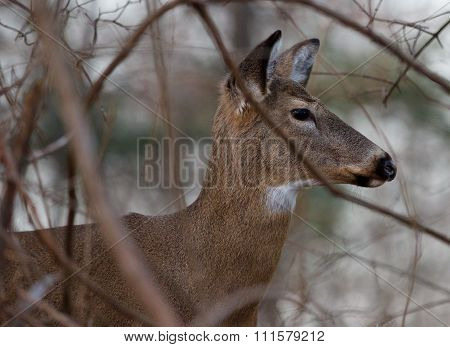 Image With The Beautiful Deer In The Shrub