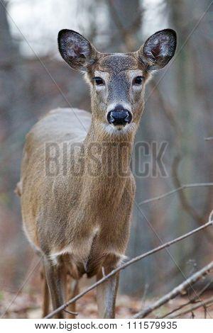 Wide Awake Deer With The Big Eyes